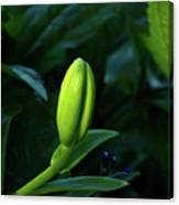 Lilly Bud Canvas Print