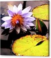 Lillypad In Bloom Canvas Print