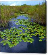 Lillypads In The Everglades Canvas Print