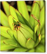 Lily Bud Canvas Print
