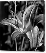 Lily Canvas Print