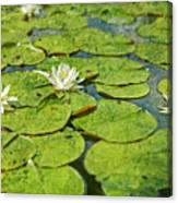 Lily Pad Flowers Canvas Print