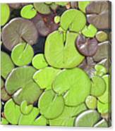 Lily Pads #1 Canvas Print