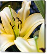 Lily Splendor Canvas Print