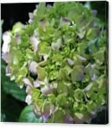 Lime-green Hydrangea Canvas Print