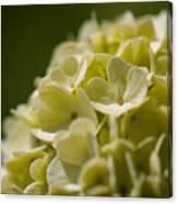 Lime Hydrangea Canvas Print