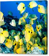 Lined Butterflyfish Canvas Print