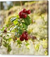 Lingonberries 1 Canvas Print