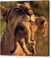 Lion 32 Canvas Print