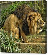 Lion Calling Females Canvas Print