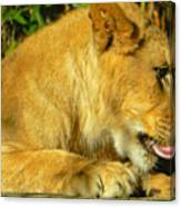 Lion Cub - What A Yummy Snack Canvas Print