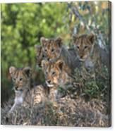Lion Cubs Awaiting Mom Canvas Print