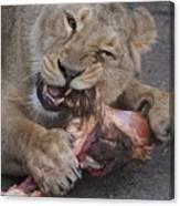 Lion Eating Canvas Print