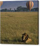 Lion Ignores Balloons Canvas Print
