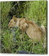 Lion In A Cool Glade Canvas Print