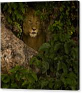 Lion In A Tree-signed Canvas Print