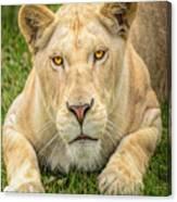 Lion Nature Wear Canvas Print