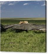Lion on a Log Canvas Print