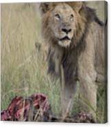 Lion With Kill Canvas Print