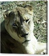 Lioness Peering Canvas Print