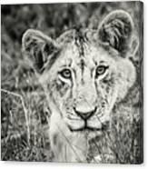 Lioness Portrait Canvas Print