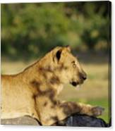 Lioness Pose Canvas Print