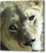 Lioness Up Close Canvas Print