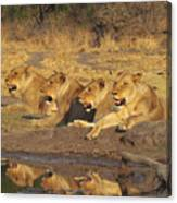 Lionesses Canvas Print