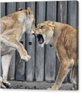 Lioness's Playing 1 Canvas Print