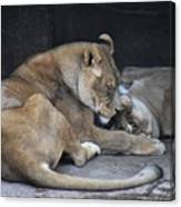 Lioness's Playing 2 Canvas Print