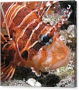 Lionfish Closeup Canvas Print