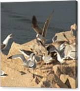Listen Up Gulls Canvas Print