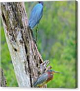 Little Blue And Green Heron Canvas Print