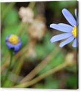 Little Blue Daisies Canvas Print