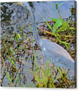 Little Blue Heron Canvas Print