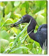 Little Blue Heron Catches A Frog Canvas Print