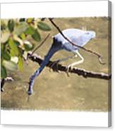 Little Blue Heron Going For Fish With Framing Canvas Print
