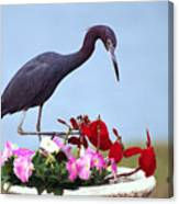 Little Blue Heron In Flower Pot Canvas Print