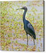 Little Blue Heron In Weeds Canvas Print