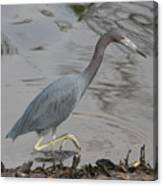 Little Blue Heron Walking Canvas Print