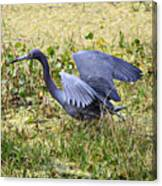 Little Blue Heron Walking In The Swamp Canvas Print
