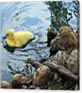 Little Ducky Canvas Print