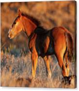 Little Filly Canvas Print