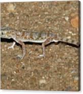 Little Gecko Canvas Print