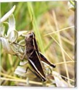 Little Grasshopper 2 Canvas Print