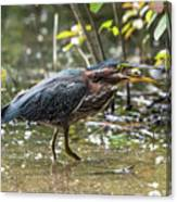 Little Green Heron With Fish Canvas Print