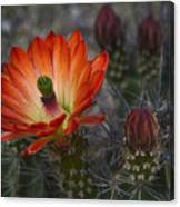 Little Red Claret Cup Flower  Canvas Print