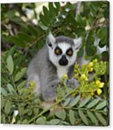 Little Ring-tailed Lemur Canvas Print