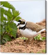 Little Ringed Plover Canvas Print