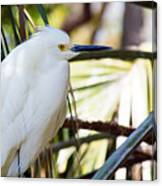 Little Snowy Egret Canvas Print